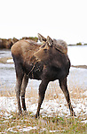 Female Moose, Late Winter, Norris Junction, Yellowstone National Park, Wyoming