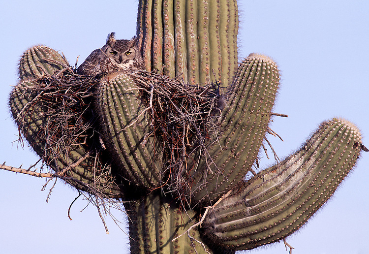 Great Horned Owl ( bubo virginianus) nesting on Saquaro cactus