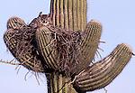 Great Horned Owl ( bubo virginianus) nesting on Saquaro cactus