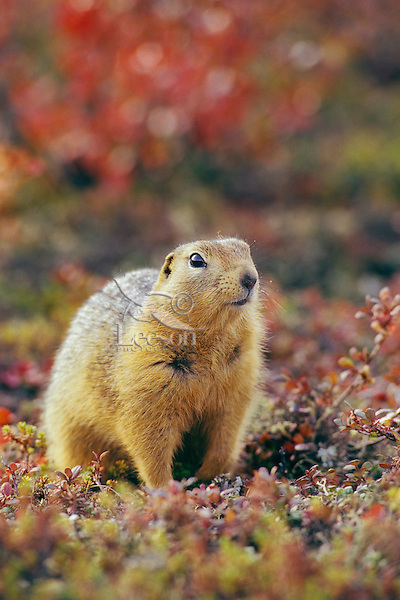 Arctic ground squirrel (Urocitellus parryii)