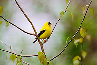 Male American Goldfinch (Carduelis tristis). Eastern U.S., Spring.