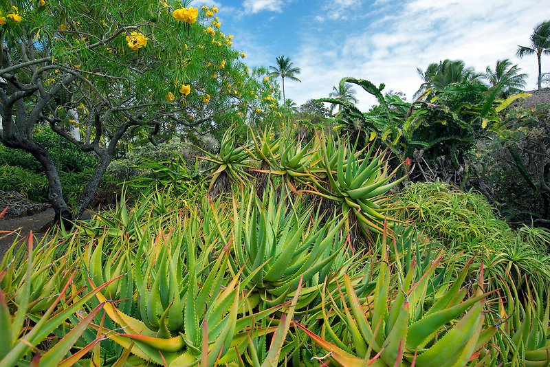 Aloe plants at Moir Gardens. Klahuna Plantation Resort. Kauai, Hawaii