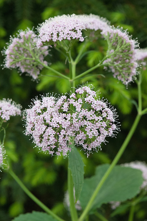 Valeriana pyreniaca (Pyrenean valerian), mid May. A self-sowing, herbaceous perennial that produces pale pink-purple flowers above large, heart-shaped leaves in early summer.