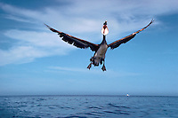 Humorous image of a brown pelican with open bill flying over water.