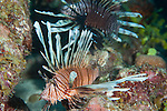 Gardens of the Queen, Cuba; a pair of Common Lionfish hovering over a Caribbean coral reef