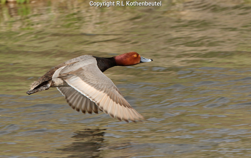 A redhead drake flies low over the water.<br /> Lower Klamath Lake<br /> Klamath Basin National Wildlife Refuges, Cailfornia<br /> 3/31/2015