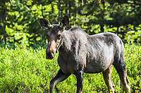 A young moose cow stops for a quick photo in Northwest Wyoming.