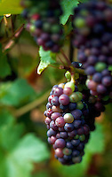 Ripe purple grapes on vine