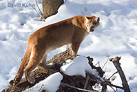 0218-1015  Mountain Lion (Cougar) in Snow, Puma concolor (syn. Felis concolor)  © David Kuhn/Dwight Kuhn Photography.