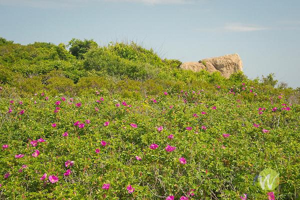 Hammonasset State Beach Park. Beach Rose.