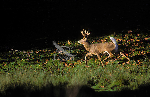 White-tailed deer. Buck flashing tail as he runs..Warning signal to other deer. Autumn..British Columbia, Canada. (Odocoileus virginianus).