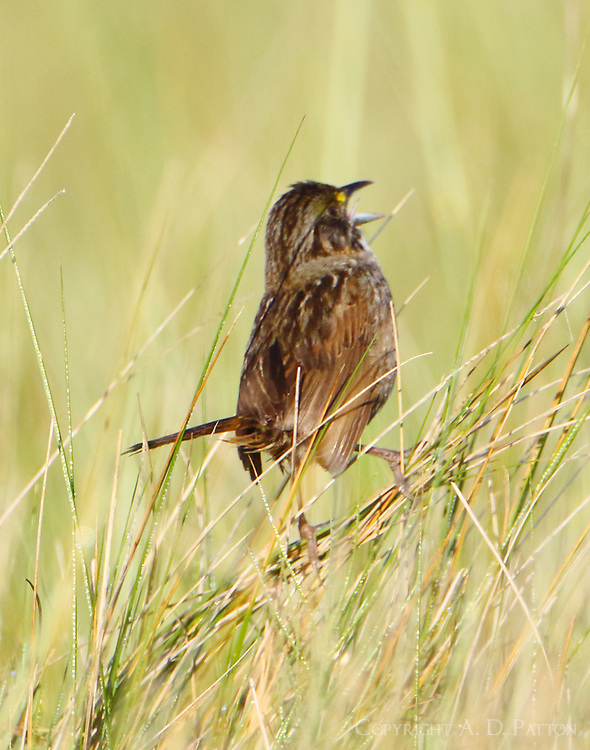 Adult seaside sparrow singing. The sparrows would fly low over the marsh grass and dive into the grass or sometimes land on a bunch of grass or a bush and then sing as here.