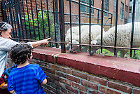 New York, NY - 7 July 2015 - Passersby enjoy the three ewes, named Elizabeth, Mott and Mulberry, who graze in the cemetery at  the cemetery of the Roman Catholic Basilica of St. Patrick's Old Cathedral in Nolita. The lambs fulfill a pastoral vision set by Msgr. Donald Sakano, the church's pastor, as St Patrick's prepares to mark it's 200th Anniversary.