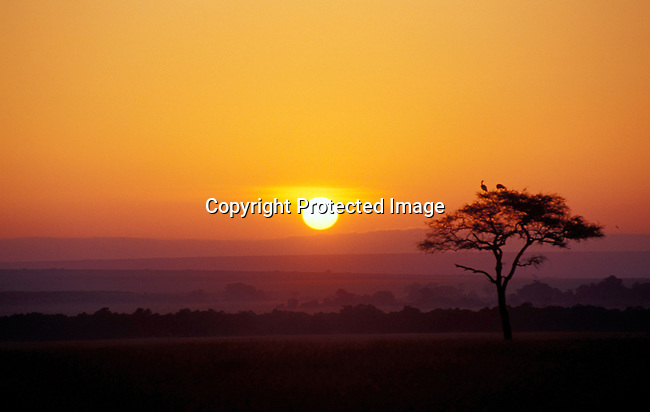 DICOKEN00150 .Kenya. Masai-mara, landscape,sunset, field, tree,.The sun sets in Massai-Mara in Kenya. .©Per-Anders Pettersson/iAfrika Photos