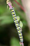 Clouded Crimson caterpillar (Schinia gaurae), Lake Texoma, Oklahoma, USA