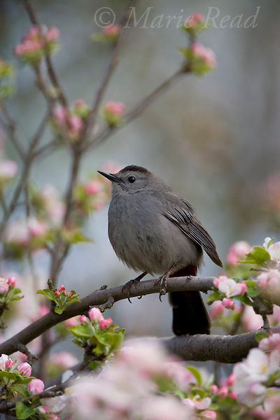Gray Catbird (Dumetella carolinensis) perched amid apple blossom, New York, USA