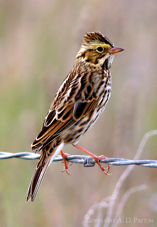 Adult savannah sparrow with crest raised