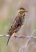 Adult savannah sparrow with crest raised