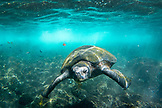 GALAPAGOS ISLANDS, ECUADOR, Isabela Island, Punta Vicente Roca, a sea turtle spotted while snorkeling in the waters off Isabela Island