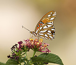 Gulf Fritillary Butterfly.Agraulis vanillae.September 19, 2008. Fitzroy Barrett .
