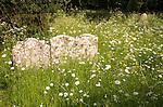Wildflowers gravestones churchyard graves, Mellis, Suffolk, England, UK