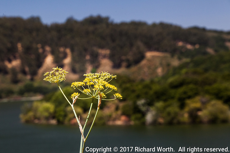 Bright yellow sweet fennel flowers along a hiking path at Lake Chabot Regional Park in Castro Valley, California.