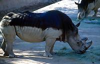 MAMMALS<br /> White Rhinoceros<br /> Ceratotherium simum<br />  Phoenix Zoo