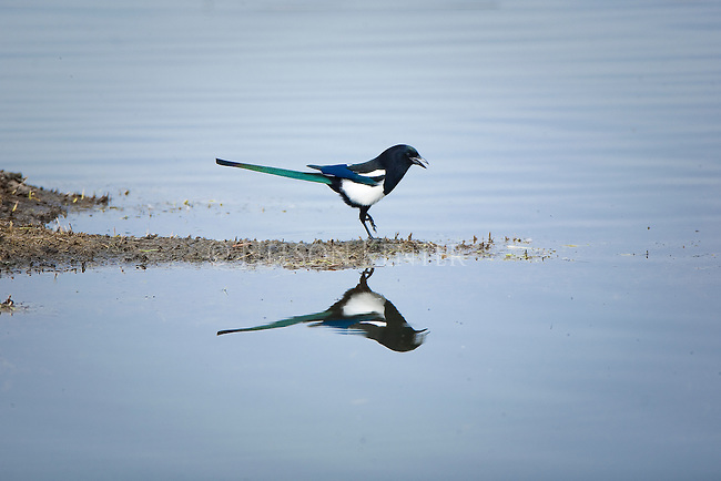 A Magpie steps out on ground surrounded by water
