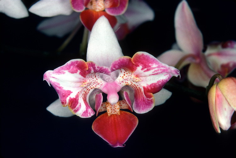 Peloric orchid Phalaenopsis stuartiana