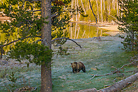 Grizzly Bear (Ursus arctos) near small pond, early morning.  Rocky Mountains, U.S., early summer.
