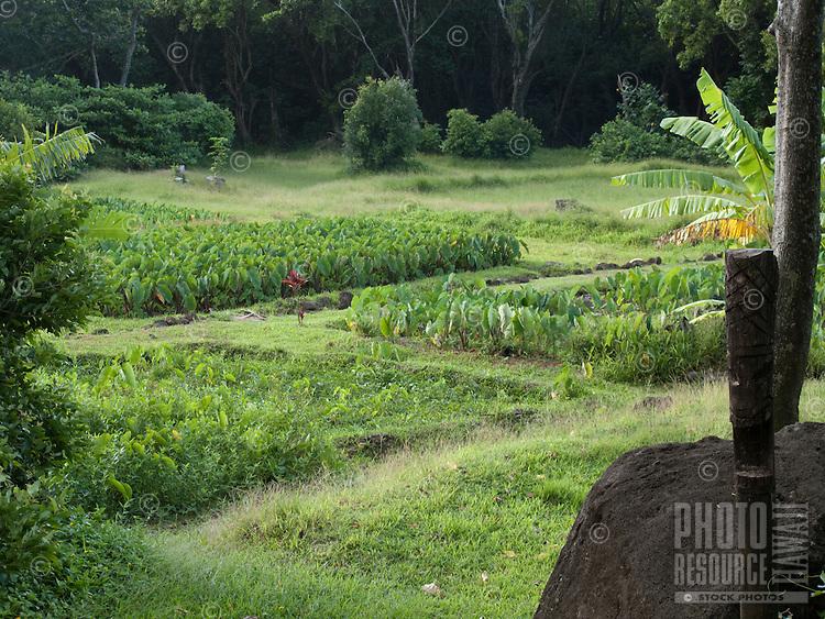 Taro fields on Kauai, the traditional staple food of the Hawaiians