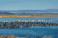 Mostly Greater White-fronted Geese (Anser albifrons) and Tundra Swans (Cygnus columbianus) on frozen pond, Lower Klamath NWR, Oregon/California.  Feb-March.