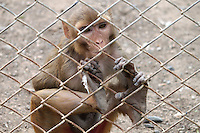 A small monkey clinging yearningly to the zoo fence glancing out