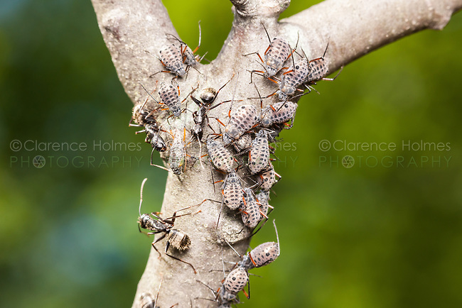 Black Carpenter Ants (Camponotus pennsylvanicus) tend and provide protection to Giant Bark Aphids (Longistigma caryae) and feed off of their honeydew in a symbiotic relationship.