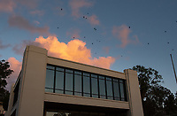 Crows fly above Occidental College's Arthur G. Coons Administrative Center (AGC) and Fowler Hall on Feb. 5, 2019.<br /> (Photo by Marc Campos, Occidental College Photographer)