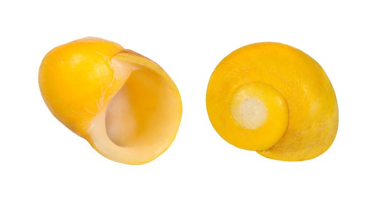 Littorina mariae