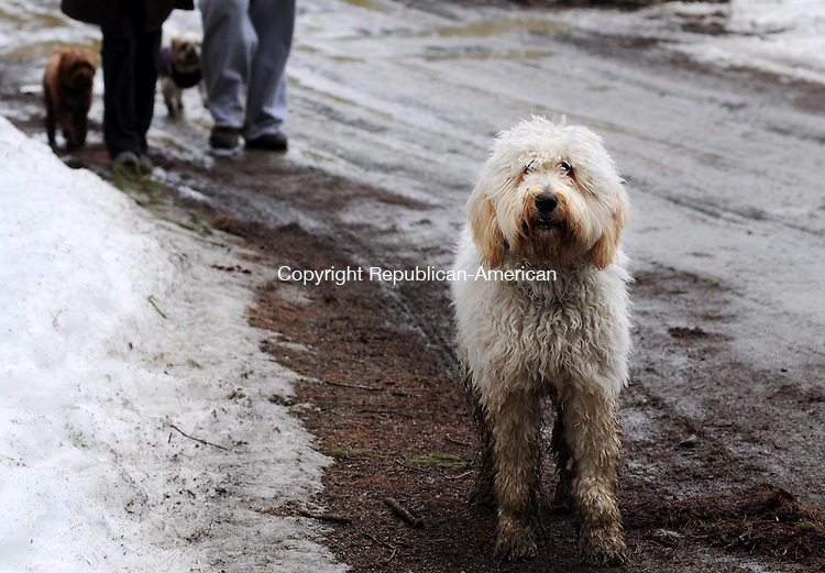 LITCHFIELD, CT, 02 MAR 13- 030213AJ09-  Wiley, a Goldendoodle, found the mud on Saturday at White Memorial Conservation Center while on a walk with Nadine and Peter Isacs of Goshen. Alec Johnson/ Republican-American