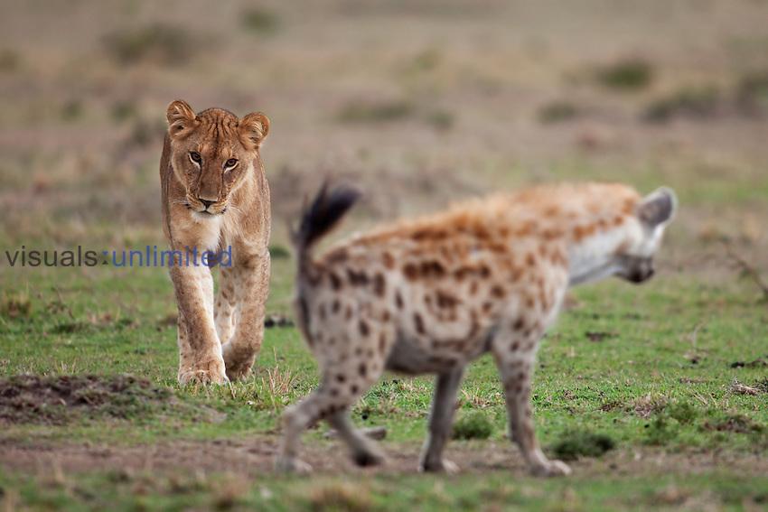 Lioness (Panthera leo) stalking a Spotted Hyena (Crocuta crocuta), Masai Mara National Reserve, Kenya.