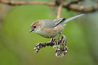 Adult male Bushtit (Psaltriparus minimus). King County, Washington. May.