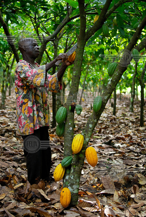 Agya Atta, member of the Kuapa Kokoo cocoa co-operative, cuts cocoa pods from the trees on his farm. Kuapa Kokoo is a farmers' co-operative with 45,000 members spread across the forests of Kumasi. The farmers jointly own a 45 percent stake in the company, which is also a major stakeholder in the London-based fair trade company Divine Chocolate Ltd.....