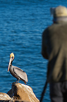 A California brown pelican (Pelecanus occidentalis californicus) standing on a rock with a photographer blurred out of focus in the foreground, both of which are standing in front of a  peaceful blue ocean.  The photographer is Greg Russell of Alpenglow Images (http://www.alpenglowimagesphotography.com/).