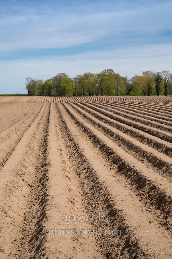 Potato ridges - Lincolnshire, May