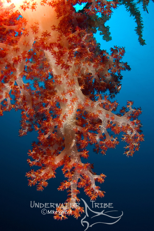 Soft coral, Dendronephthya sp, in a deep blue sea, Layang Layang atoll, Sabah, Borneo, Malaysia, South China Sea, Pacific Ocean