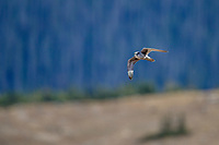 Prairie Falcon (Falco mexicanus) in flight over Rocky Mountain National Park, Colorado.