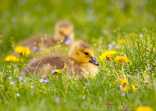 Canada Goose (Branta canadensis), two goslings sitting amid flowers on a lawn in spring, New York, USA