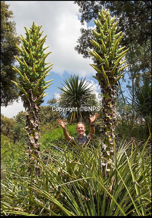 BNPS.co.uk (01202 558833)<br /> Pic: PhilYeomans/BNPS<br /> <br /> Head gardener Steve Griffith admires the UK's only flowering Puya plant.<br /> <br /> It's like the Day of the Triffids at the Abbotsbury sub-tropical gardens in Dorset this week as the mild winter and wet and warm spring has caused a huge growth spurt for its exotic range of plants from all over the world.<br /> <br /> Included in the strange sights is the earliest ever blooming in the UK of the Chilean Sheep Eating plant Puya berteroniana, which despite having a fearsome reputation for trapping mammals in its barbed fronds also has a delicious nectar that can be drunk.