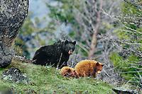 Black Bear ((Ursus americanus) mother with two yearling, cinnamon cubs.  Spring.  Northern Rockies.