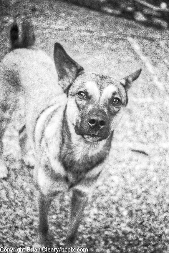 Argo the dog, photo taken with 1952 vintage Kodak Signet 35, 35mm film camera on Kodak Tri-X black and white film, Holly Hill, Fl, July 2017.  (photo by Brian Cleary/bcpix.com)