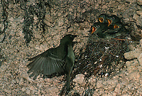 A Western flycatcher (Empidonax difficilus) monitors her hungry young.