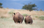 Black rhino cow and calf, Diceros bicornis, Tswalu Kalahari private game reserve, Northern Cape, South Africa